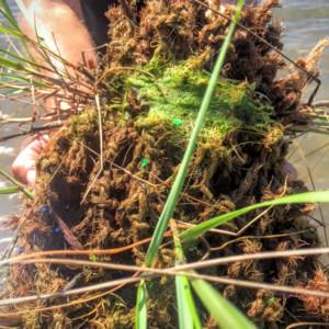 Coconut fiber matting with smooth cordgrass fibers