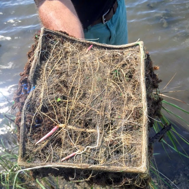 Coconut fiber matting with smooth cordgrass fibers
